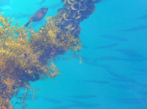 桟橋の魚たち