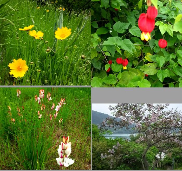 5月の黄色と桐の花