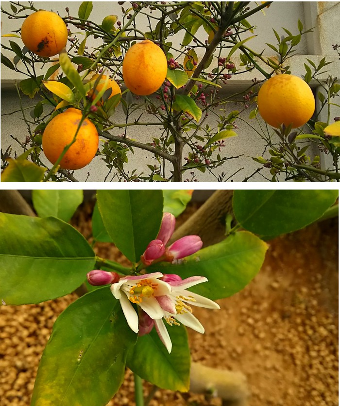 レモンの実と花